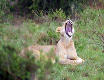 Lionen vrålar Royaltyfri Bild
