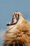 lionen vrålar royaltyfri fotografi