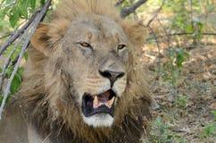 lionen vrålar Royaltyfria Bilder