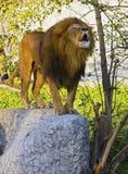 lionen vrålar Arkivfoto