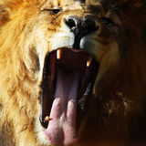 lionen vrålar Fotografering för Bildbyråer