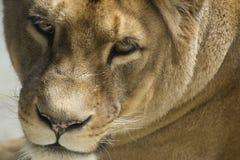 liones льва barbary Стоковое Фото