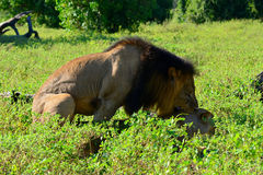 Liones para ihop Arkivfoto