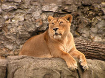Lioness. Royalty Free Stock Photo