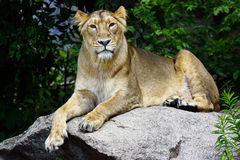Lioness. Closeup of lioness resting on rock outdoors Royalty Free Stock Photos