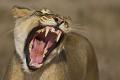 Free Lioness Royalty Free Stock Photo - 11061785