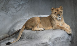 Lioness. Closeup of lioness lying on rock Royalty Free Stock Images