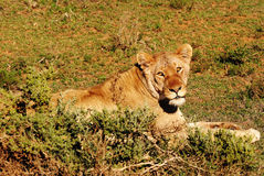 Lioness. Being watched by a Lioness Stock Images