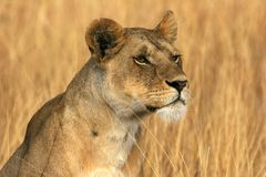 Free Lioness Royalty Free Stock Photo - 12216325