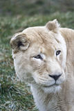 Lioness. A lioness in the grass Stock Photo