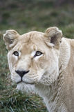 Lioness. A lioness in the grass Stock Photos