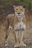 Lioness. A female lion stands in the rain Stock Photos