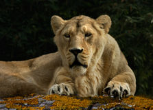 Lioness. A Lioness resting after it's meal Stock Photography