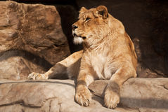 Lioness Stock Image