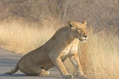 Lioness. Scarred Adult lioness getting up after her rest Stock Photography