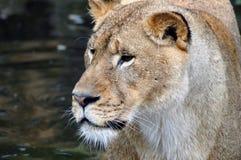 lioness Arkivfoton