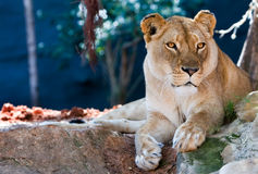 Lioness. Resting in the shade Royalty Free Stock Image