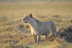 Lioness. Stock Photos