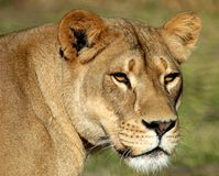 Lioness. A lioness in the wild Royalty Free Stock Photography