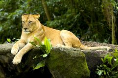 Lioness. Lying lioness in Singapore Stock Photo
