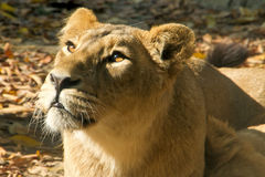 Lioness. Looking with attention Lion female Royalty Free Stock Image