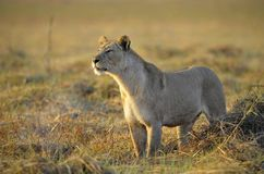 Lioness . Royalty Free Stock Photography