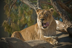 Lioness. A lioness is a female member of the species Panthera leo. Lionesses are the core members of, and the primary hunters for each pride or primary social Stock Image
