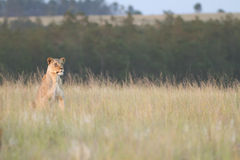 Lioness. A lioness stares over the grassland plains looking for prey Stock Image