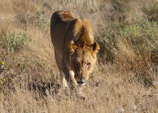 Lioness. Hunting in the grass Royalty Free Stock Photo