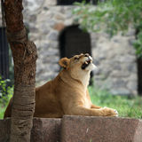 Lioness Royalty Free Stock Photo