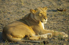 Lioness. A lioness living in the wild of Botswana, Africa, in the sunset Royalty Free Stock Images