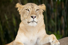 The Lioness Stock Photography