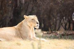 Lioness Immagine Stock