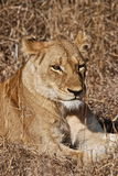 Lioness. In the bush on the kruger national park Stock Photos
