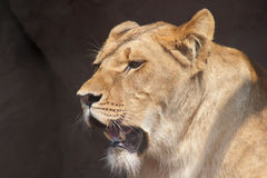 Lioness Royalty Free Stock Photography