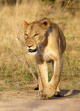 Lioness. Kruger National Park, South Africa Stock Photos