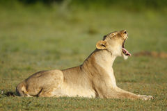 Lioness. With her mouth open showing her teeth Royalty Free Stock Photography