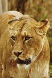 Lioness Stock Photo