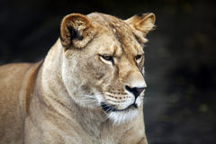 Lioness. Calm majestic lioness - outdoor scene Royalty Free Stock Photography