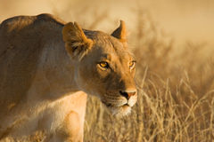 Lioness. On the hunt; South Africa Stock Images