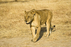 Lioness. In Mikumi National Park, Tanzania Royalty Free Stock Photography