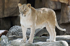 Lioness. A lioness levels an attentive gaze Stock Image