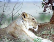 lioness Royaltyfria Foton