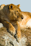 Lioness. Lying on the rocks stock photos
