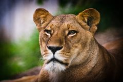 Free Lioness Royalty Free Stock Photography - 29646127
