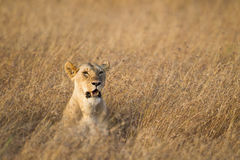 Lioness. Looking for prey, Masai Mara National Reserve, Kenya Eastern Africa stock images