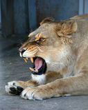 Lioness 3. Lioness with an open mouth Stock Photo