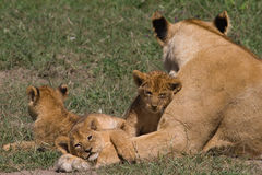 Lioness and 3 cubs - Panthera leo Royalty Free Stock Images