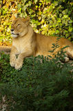 Lioness. A lioness resting at the zoo in Osaka stock photos