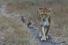 Lioness. With newborn cubs walking along dirt track in masai mara, kenya Royalty Free Stock Image